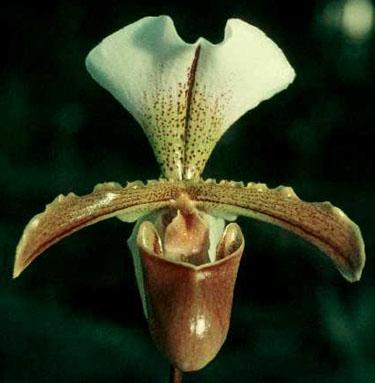 Paphiopedilum Leeanum.jpg