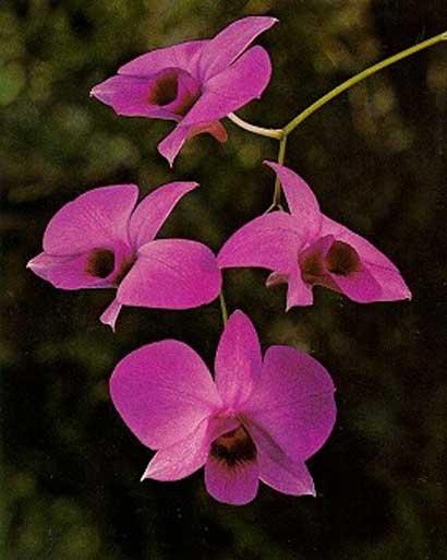 Dendrobium Orchid Flowers.jpg
