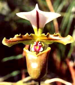 Easy Orchid Plant - Paphiopedilum Spicerianum.jpg