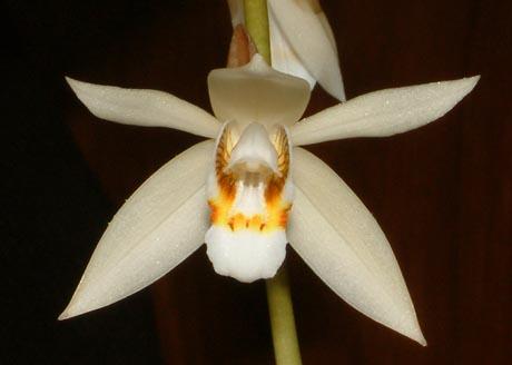 Easy Orchids - Coelogyne Flaccida.jpg