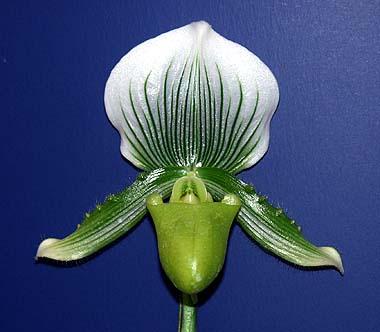 Easy Orchids - Paphiopedilum Maudiae.jpg