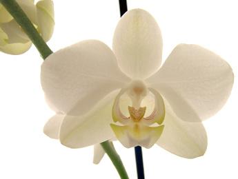 Phalaenopsis Orchid Plant Care.jpg