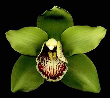 Popular Types of Orchids - Cymbidium.jpg