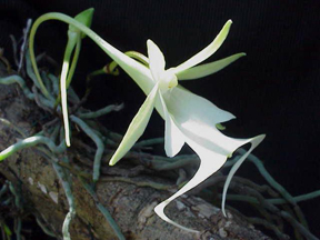 Ghost Orchid Flower