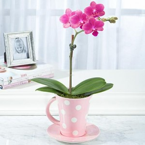 Teacup Orchid
