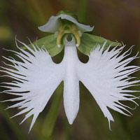 White Egret Orchid