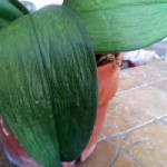 Dehydrated orchid leaf