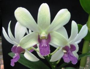 Dendrobium Lloyd Stainton Orchid